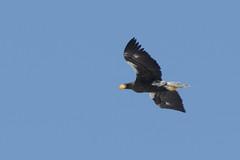 Dreaming of the eagles... (Sergei Golyshev (reloaded :)) Tags: stellers sea eagle haliaeetus pelagicus bird birding telephoto nature prey pretator avian kamchatka russia flying raptor sky blue          fauna