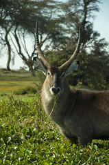 A Thompson Gazelle portrait (jhderojas) Tags: gazelle thompson lake nakuru portrait kenia