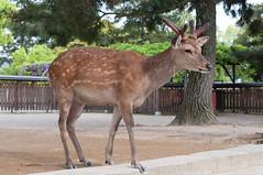 (GenJapan1986) Tags: animal japan deer  nara  2010     nikond90