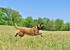 Hover dog (Scoutdogs (Chris)) Tags: dog field happy athletic amazing jump action wheat joy working run belgian leap malinois leaping active energetic