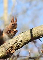 (frettir) Tags: squirrel sweden eating acorn twig ekorre gren bromma ekollon ngby