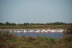 Flamingo Cluster (Let Ideas Compete) Tags: sea vacation france bird nature de french mediterranean flamingo delta rhône southern wetlands marsh provence waterfowl wetland 2012 étang camargue étangs aquaticbird vaccarès