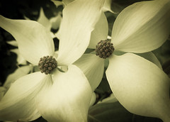Two Dogwood Blossoms (lclower19) Tags: two nikon blossom double dogwood s8000 ourdailychallenge