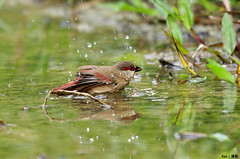 Crimson Rumped Waxbill taking shower (Ken Goh thanks for 2 Million views) Tags: wild bird water crimson shower droplets pentax african splash k5 freezed waxbill rumped