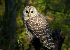 Papa Barred Owl (ebirdman) Tags: male owl barred barredowl strix varia strixvaria
