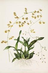 n126_w1150 (BioDivLibrary) Tags: guatemala mexico orchidaceae plants missouribotanicalgardenpeterhravenlibrary bhl:page=769242 dc:identifier=httpbiodiversitylibraryorgpage769242 taxonomy:binomial=oncidiumwentworthianum womeninscience artist:name=augustainneswithers artist:viaf=95819243 augustainneswithers q2870951 illustrator:wikidata=q2870951 hernaturalhistory