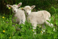 (evisdotter) Tags: summer animals sheep ngc npc lamb fr djur lamm land thegalaxy sooc platinumheartawards platinumpeaceaward coppercloudsilvernsun mygearandme mygearandmepremium sunrays5
