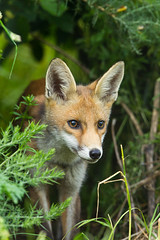 _W9H5990 (asbimages.co.uk) Tags: uk red nature animal wildlife fox foxes redfox vulpesvulpes vulpes