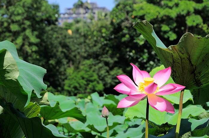 lotus-taipei-botanical-garden