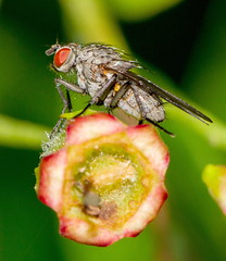 IMG_0036 Tachnid Fly (poss Dexia rustica female), Attleborough Fields, Nuneaton, Warwickshire 13June12 (Lathers) Tags: warwickshire nuneaton tachnidfly canon7d canonef100f28lisusm attleboroughfields possdexiarustica