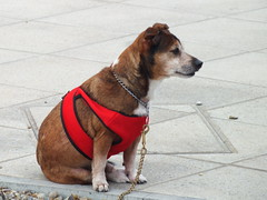 A dog waiting for its master (Moldovia) Tags: england dog pet animal mouth nose eyes sitting legs outdoor norfolk ears canine vest paws greatyarmouth mongrel eastanglia bridgecamera fujifilmfinepixhs20exr