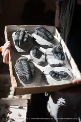 Trilobites (Alex Treadway) Tags: history fossil ancient order morocco research abundance thepast variation fossils selectivefocus trilobite archeologist archaeologicalsite trilobites meknèstafilalet