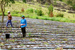Onions Field - Batur (Il Etait une Faim) Tags: bali indonesia volcano batur onionfield