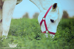 "Horse ! (Queen333"" ) Tags: horse green canon eos flickr mark ii l 5d 70200  ksa          ghadah  onaizah"