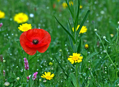 Kirkby wild flowers (Mr Grimesdale) Tags: wildflowers northwood knowsley kirkby stevewallace ruffwood mrgrimesdale kirkbywildflowers northwoodkirkby