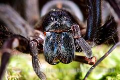 Ctenus sp. (Primeval Nature) Tags: nature horizontal closeup female night spider rainforest outdoor spiders wildlife arachnid jag panama colon centralamerica arachnida araneae araneomorphae wanderingspider ctenidae ctenus santaritaarriba