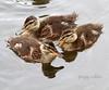 Duckling Triangle (Peggy Collins) Tags: canada three triangle britishcolumbia ducklings trio sunshinecoast mallards babybirds babyducks mallardducklings peggycollins