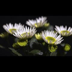Beauty (shoot it!) Tags: flowers white flower macro photoshop canon raw flash marco 5d manual juli wit 580ex bloemen 2012 transmitter tt5 bloem markii macrolens adobecameraraw tt1 transceiver offcamera flitser pocketwizard flitsers studioflashes shootit offcameraflashes canon580exii canon580exiiflash canon5dmarkii minitt studioflitsers flextt5 marcostruijlaart photoshopcs5 pocketwizar juli2012