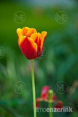 Flowering tulips in a variety of colors in a summery garden (Arno Enzerink) Tags: flowers summer plants plant flower color colour colors spring colorful colours tulips tulip bloom flowering bulbous colourful plantae tulipa blooming liliaceae liliales angiosperms monocots lilioideae