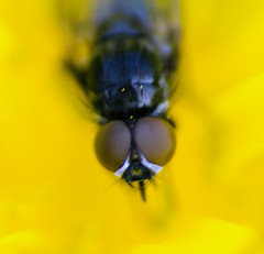 Eyes (Not Perfect) (Howie Mudge LRPS) Tags: macro eye bug fly nikon dcr250 raynox d7000 tamron70300mmvcusd