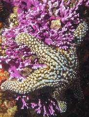 Seastar on Hydrocoral (Ed Bierman) Tags: scuba diving marinelife ncrd gaydiving
