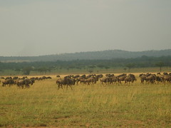 Large heard of Wildebeest (Real Africa) Tags: africa wild tanzania kenya running safari herd grazing wildebeest wildebeestmigration safarianimal migrationmasimara