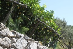 Lemons on the Amalfi Coast (Rory Francis) Tags: italy cliff coast high lemon mediterranean italia amalficoast lizard heat italie amalfi sanlazzaro agriturismo costieraamalfitana agerola yreidal slazzaro dagigino aneadailt aniodail lalunadalgerola lalunadagerola