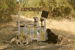 212/366 Open for Business (PamK*) Tags: dog country lemonade lemons dogbiscuits lemonadestand ourdailychallenge dailydogchallenge