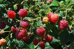 "Raspberries 2 • <a style=""font-size:0.8em;"" href=""http://www.flickr.com/photos/79443437@N05/7900444880/"" target=""_blank"">View on Flickr</a>"