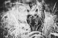 IMG_8270 (jabberjinx) Tags: hollandse hollandseherder holsku hollanninpaimenkoira hh dutchshepherd dutchie brindle forest woods