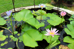Waterlillies (adrienneluis) Tags: waterlillies plants temple thailand