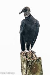 Black Vulture (Ian R T) Tags: panama wildlife sanlorenzonationalpark blackvulture vulture