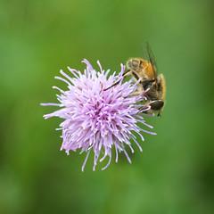 Zweefvliegje op een Distel (Geziena) Tags: zweefvlieg insect natuur distel bloem flower dier animal macro closeup nikon d600 150mm sigma