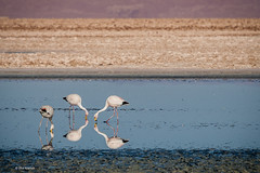 Flamingos feeding - Los Flamencos National Reserve (Phil Marion (50 million views - thanks)) Tags: philmarion 5photosaday beauty beautiful travel vacation candid beach woman girl boy wedding people explore  schlampe      desnudo  nackt nu teen     nudo   kha thn   malibog    hijab nijab burqa telanjang  canon  tranny  explored nude naked sexy  saloupe  chubby young nubile slim plump sex nipples ass hot xxx boobs dick dink