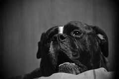 DSC_0139 (JablesPhotos) Tags: dog bulldog bulldogge bully olde english oeb cute puppy monochrome black white bw