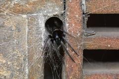 Segestria florentina - Tube web spider (willjatkins) Tags: segestria segestriaflorentina tubewebspider arachnids arachnid spiders spider spiderandweb funnelweb britishwildlife britisharachnids britisharachnid britishspiders britishspider ukwildlife ukarachnids ukarachnid ukspiders ukspider londonwildlife londonspiders londonspider westminster urbanwildlife urbanspiders nonnativespecies nonnativewildlife alienspecies alienspiders nonnativespiders macro macrowildlife closeupwildlife closeup nikond7100 sigma105mm