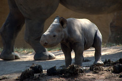 Puntlipneushoorn (soetendaal) Tags: zwarteneushoorn zoogdier animal schwarzes nashorn spitenmaul jun baby rinocerontenegro rhinocérosnoir zoo dier krefeld rhino retratos portraits en profile cutebabyanimals