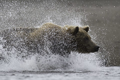 Brown Bear (www.studebakerstudio.com) Tags: brownbear grizzly alaska studebaker fishing water lakeclark