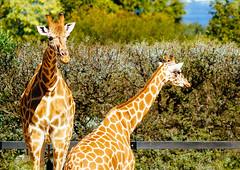 Giraffes (VirtualWolf) Tags: animal australia bokeh canonef135mmf2lusm canoneos7d equipment giraffe mammal mosman newsouthwales places sydney tarongazoo techniques wildlife