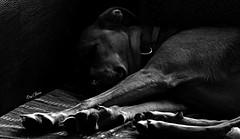 my dog (png nexus) Tags: nb bw noir blanc black white dog chien sieste sleep