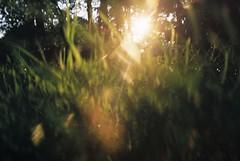 Grass on fire (Lotte van der Krol) Tags: grass light nature