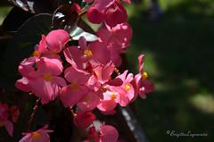 """le petit bgonia (Brigitte .. . """"Tatie Clic"""") Tags: 2014083115 t bgonia fleurdujardin fleur lotetgaronne aquitaine francesudouest sansretouche fleurrose rose aout aot"""