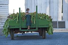 Amish Children with Tobacco Crop (Brian E Kushner) Tags: amish mennonite horse buggy farm country countryroad road pennsylvania ©brianekushner nikon d810 nikond810 nikon70200mmf28 70200mm f28 nikorchildren tobacco