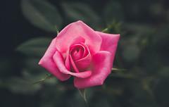 Ghost of A Rose (Midori (K)) Tags: nature rose pinkrose beautiful