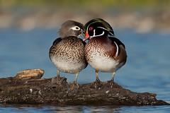 Wood Duck (Gregory Lis) Tags: woodduck aixsponsa burnabylake britishcolumbia gorylis gregorylis nikond810 duck