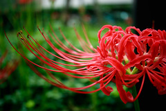 IMG_1585 (Jun.Ohashi) Tags: flower red redspiderlily shinjuku sunny    ns           jp canon  eos eosm3 apsc efm28mmf35macroisstm efm28mm 28mm efm f35 is stm macro  led