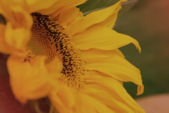 SunflowerPower (obsequies) Tags: sunflower flowers autumn fall harvest september yellow country life cottage shabby chic petals bokeh whimsy whimsical love canada flower power sweet vintage grainy wishes nature