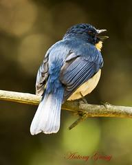 "Tickell's Blue Flycatcher (AntoGros) Tags: blue wild bird nature birds colorful asia indian birding wellington tropical colourful ooty insectivorous flycatcher nilgiris ""indian "" passerine india"" bird"" ""colourful tickells ""tropical life"" ""wild ""birds birds"" ""colorful flycatcher"" birdsofnilgiris nilgirisbirds ""tickells ""cyornis tickelliae"" birdingnilgiris birdingooty birdsooty"
