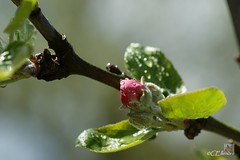 Apfelbltenknospe  / apple blossom bud (2) (Ellenore56) Tags: light inspiration color colour detail macro reflection tree apple botanical licht photo flora focus foto magic perspective drop raindrops vista droplet imagination outlook bud moment makro magical farbe reflexion bume baum apfel raindrop perspektive appletree reflektion apfelbaum tropfen knospe appleblossom augenblick fokus botanik goldendelicious regentropfen apfelblte trpfchen faszination malusdomestica pflanzenwelt apfelsorte sonydslra350 kulturapfel kindofapple ellenore56 gelberkstlicher cultivarofapple 23042012 apfelbltenknospe appleblossombud appleflowerbud