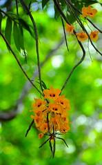 dendrobium chrysanthum ?